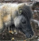 Tête du ` s de poney de Shetland Photo stock