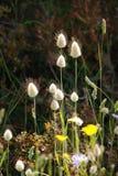 Tête en forme de cône d'herbe sur la longue tige s'élevant avec d'autres fleurs Image stock