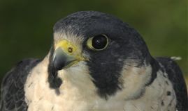Tête et épaules de faucon pérégrin images stock