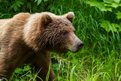 Tête et épaules de grands arctos d'un Ursus d'ours de Brown marchant près du lac redoubt dans la région sauvage d'Alaska photographie stock libre de droits