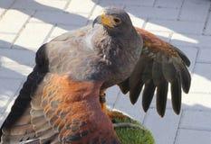 Tête et ailes d'un faucon sauvage dans la fin  Images libres de droits