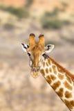 Tête et cou de girafe dans le désert Photographie stock libre de droits