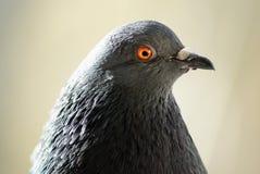 Tête et cou de pigeon Images stock