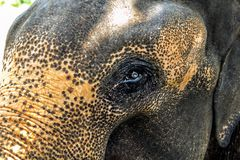 Tête et l'oeil d'un plan rapproché d'éléphant asiatique Photos stock