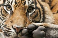Tête et pieds de tigre Photographie stock libre de droits