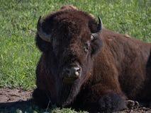 Tête et torse d'un bison américain masculin de repos photos stock