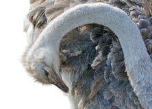 Tête femelle d'autruche d'isolement Photos libres de droits