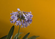 Tête globulaire savoureuse du lis bleu d'agapanthus du Nil Photographie stock