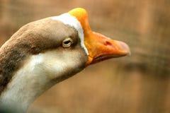 T?te haute ?troite de canard brun photographie stock libre de droits