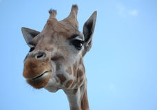 Tête indiscrète de giraffe Photos libres de droits