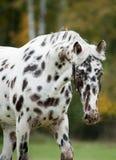 Tête intéressante de cheval d'appaloosa image stock