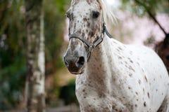 Tête intéressante de cheval d'appaloosa photo stock