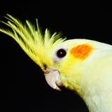 Tête jaune de cockatiel à travers photos stock