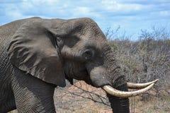 Tête masculine d'éléphant africain Photographie stock