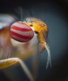 Tête minuscule de mouche Image stock