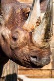 Tête noire de rhinocéros  image libre de droits