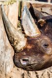 Tête noire de rhinocéros   photos stock