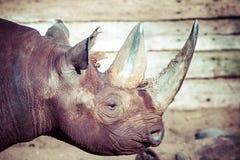 Tête noire de rhinocéros au-dessus de fond brouillé photographie stock libre de droits