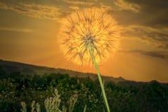 Tête occidentale de graine de salsifis éclairée à contre-jour par coucher du soleil Photos libres de droits