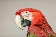 Tête rouge de perroquet Image libre de droits