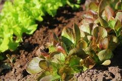 Tête rouge et laitue verte s'élevant dans le jardin, s'élevant Nourriture v?g?tarienne saine photos stock