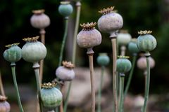 Tête sèche de coquille de fruit de pavot avec des graines développées sur le pré Photos stock
