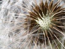 Tête sèche de graine de pissenlit Image libre de droits
