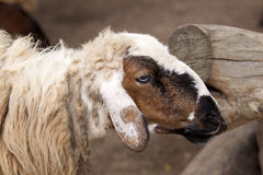 Tête sale en gros plan de moutons Photographie stock