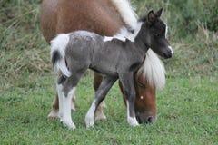 Tête se tenante prêt du ` s de mère de cheval miniature de bébé Photos libres de droits