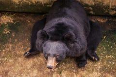 Tête supérieure d'ours noir de vue de plan rapproché dans le zoo Photographie stock libre de droits