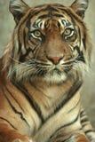 Tête sur la verticale d'un tigre de Sumatran Images stock
