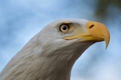 Tête tirée de l'aigle chauve adulte regardant fixement à quelque chose montrant des détails de bec et de plumes autour des yeux images stock