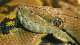 Tête tirée en gros plan du python réticulé géant de l'Asie photos stock