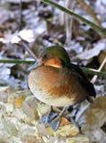 Tête verte de canard Photos libres de droits