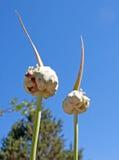 Têtes égyptiennes de graine d'ail s'élevant dans un jardin Image libre de droits