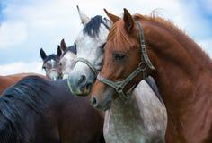 Têtes de chevaux Photo libre de droits