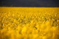 Têtes de fleur de canola de gisement de graine de colza en Allemagne Images stock