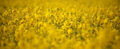 Têtes de fleur de canola de gisement de graine de colza en Allemagne Photo stock