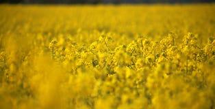 Têtes de fleur de canola de gisement de graine de colza en Allemagne Photographie stock