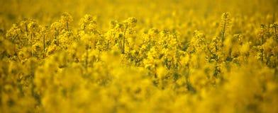 Têtes de fleur de canola de gisement de graine de colza en Allemagne Photos stock