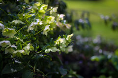 Têtes de fleur d'Argutifolius de Helleborus de Hellebore vert photos stock
