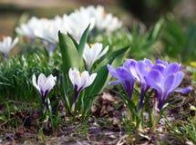 Têtes de fleur de crocus Photo stock
