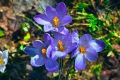 Têtes de fleur de crocus Images libres de droits