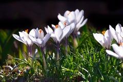 Têtes de fleur de crocus Image stock
