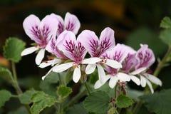 Têtes de fleur de pélargonium Images libres de droits