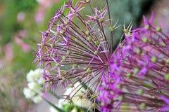 Têtes de fleur géantes d'allium Photographie stock libre de droits
