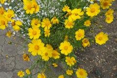 Têtes de fleur de lanceolata de Coreopsis Images libres de droits