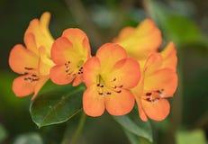 Têtes de fleur oranges lumineuses de rhododendrons Photos libres de droits