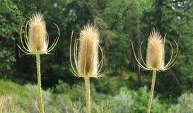 Têtes de fleur de plus pleine cardère image libre de droits