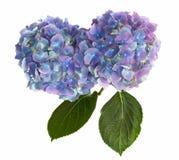 Têtes de fleur pourprées et bleues de Hydrangea sur le blanc Photos stock